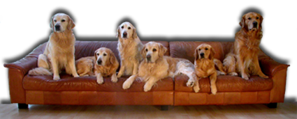 Our 6 goldens in the sofa