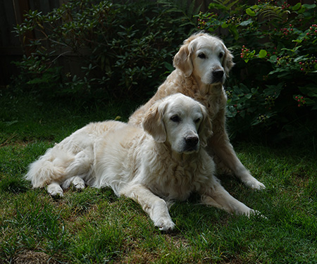 Our Old Goldens